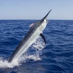 Giant black marlin charters Topnotch Game Fishing