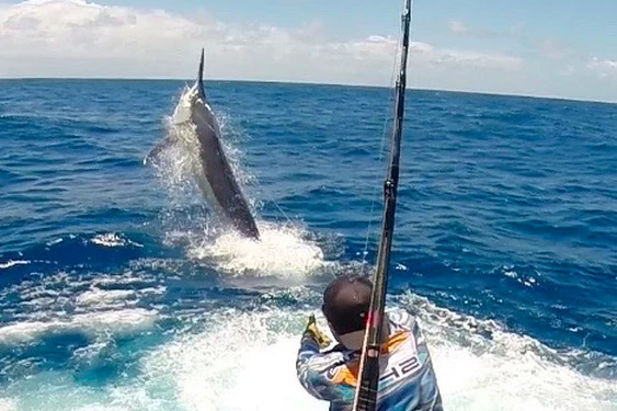 Giant Black Marlin Fishing Charters Cairns