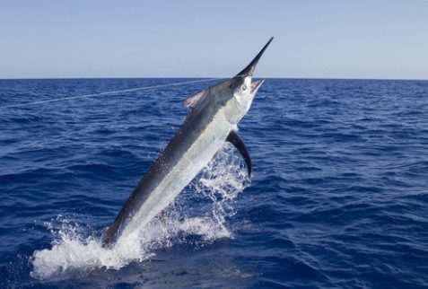 giant black marlin fishing charters Our Destinations