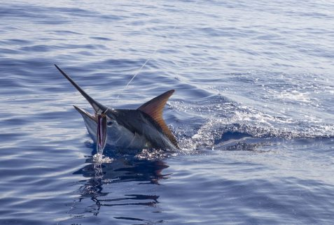 Giant black marlin charters Cairns Topnotch Game Fishing