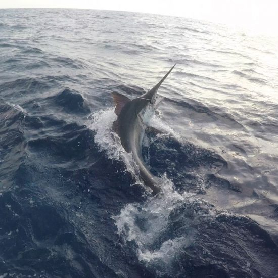 Giant black marlin charters cairns Topnotch Game Fishing Fascination II